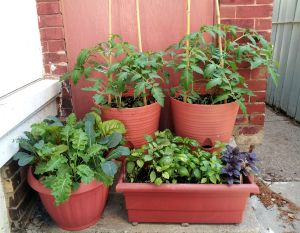 Tomatoes, kale, chard and basil